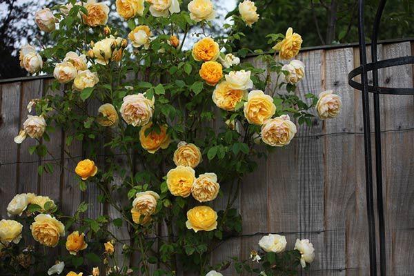 Tên các loài hoa nở quanh năm, dễ trồng tại nhà