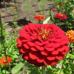 Cách gieo hạt giống hoa cúc lá nhám