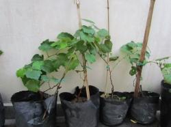 Cách trồng nho bằng cành đơn giản và thành công