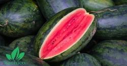 Kỹ thuật trồng dưa hấu ở miền bắc TIẾT KIỆM CHI PHÍ, GẤP ĐÔI NĂNG SUẤT