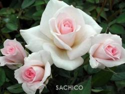 Các giống hoa hồng bông nhỏ tuyệt đẹp, dễ trồng tại nhà