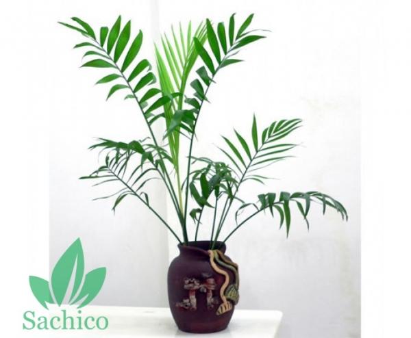 Các loại cây Trúc cảnh đẹp hút hồn, nên trồng tại nhà