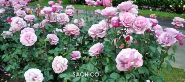 Cách chăm sóc Hoa hồng trong chậu sẽ đơn giản nếu bạn biết mẹo này