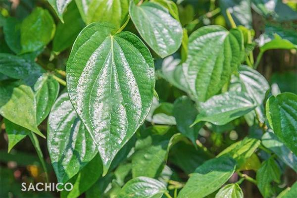 Cách trồng cây Trầu Không: hướng dẫn chi tiết, đầy đủ