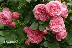 Cách trồng Hoa hồng trong chậu tại nhà cho gia đình diện tích nhỏ