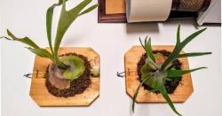 Các loại Cây Dương Xỉ đẹp ngây ngất lòng người nên trồng tại nhà
