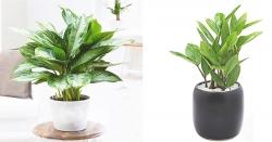 Các loại cây phát tài hợp với phong thủy nhà bạn