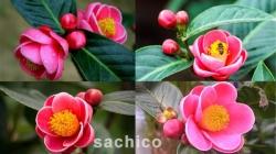 Hoa Hải Đường có ý nghĩa gì - Loài hoa của may mắn, hạnh phúc