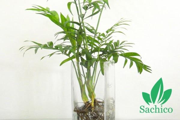 Top 5 cây trồng trong nước giá rẻ trồng tại nhà, văn phòng
