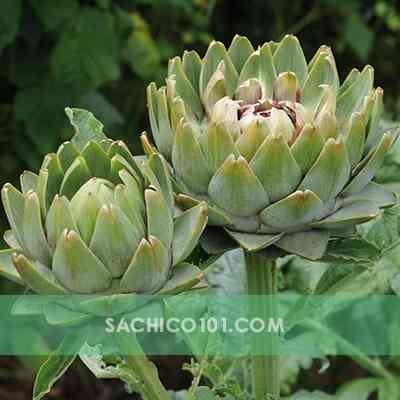 Hoa Atiso (Green Globe)