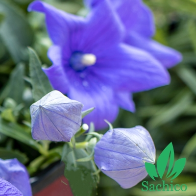 Hạt giống hoa Cát cánh