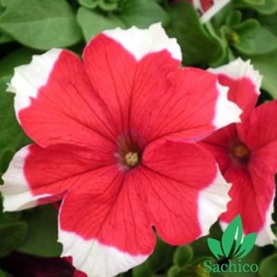 Hạt giống hoa Dạ yến thảo viền