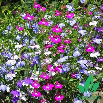 Hạt giống hoa Lobelia Mix