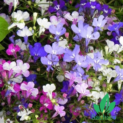 hoa Lobelia