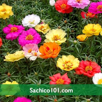 Hạt giống hoa mười giờ Mỹ kép mix