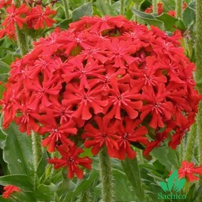 Hoa thu la đỏ