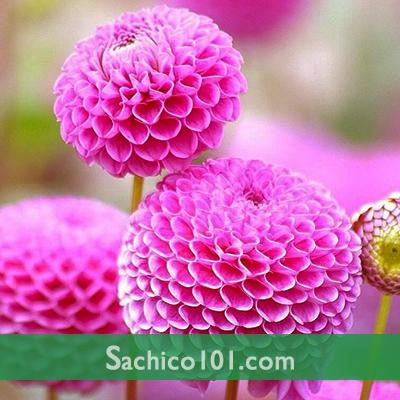 Hạt Giống Hoa Thược Dược Tổ Ong