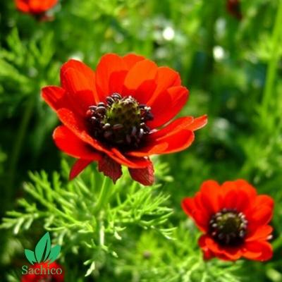 Hạt giống hoa Uyển hồng