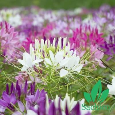 Hạt giống hoa Hồng ri Mix