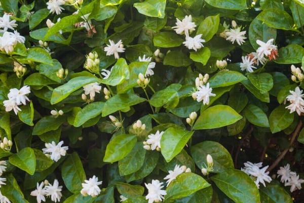 Cách trồng Hoa Nhài ra hoa nhiều và những yếu tố