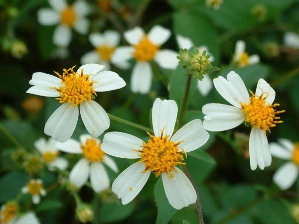 Hoa Xuyến Chi là hoa gì? Những điều bạn chưa biết