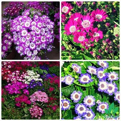 Hạt giống hoa Cúc lọ lem