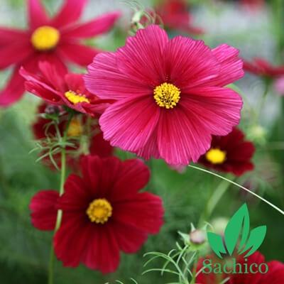 Hạt giống hoa Cúc sao nhái kép