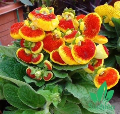 Hạt giống hoa Huyển Sâm