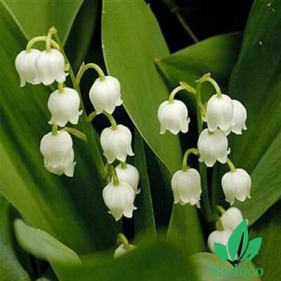 Hạt giống hoa Lan chuông (Hoa Bồ Câu)