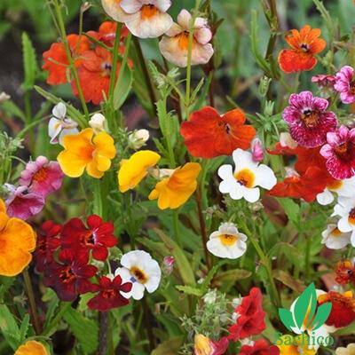 Hạt giống hoa Nemesia Mix (Hoa Mây)
