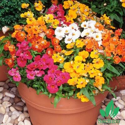 Hạt giống hoa Nemesia Mix