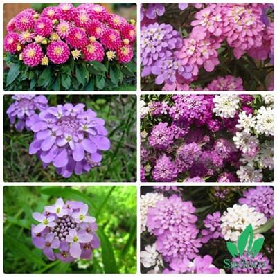 Hạt giống hoa tổ ong