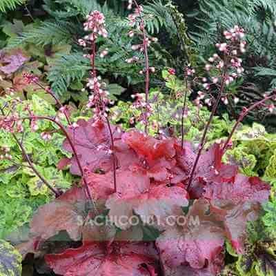 Cây chuông san hô (lá đỏ)