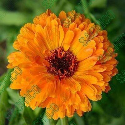 Hoa cúc susi màu cam đang nở