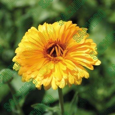 Hoa cúc Susi màu vàng đang nở
