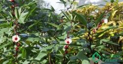 Cách trồng cây Bụp Giấm khỏe mạnh, ra hoa nhiều