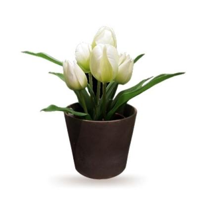 Chậu hoa tulip trắng