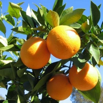 Hạt giống cam vàng Mỹ