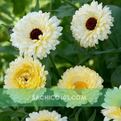 Hạt giống hoa cúc các loại