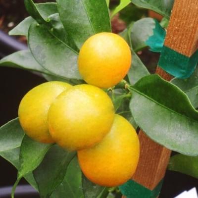 Cây giống cam vàng Mỹ