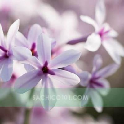Hoa cây Tulbaghia