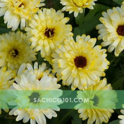 Hoa cúc màu trắng vàng