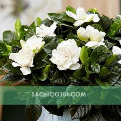 Cây Dành Dành hoa trắng