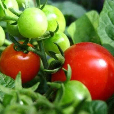 Quả cà chua đỏ