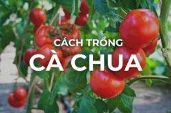 Mẹo trồng cà chua - Cách trồng cà chua