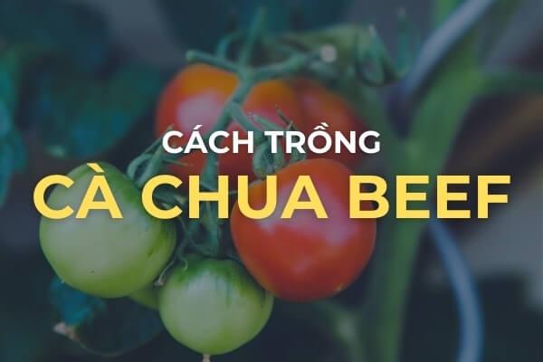 Cách trồng cà chua Beef trong vườn