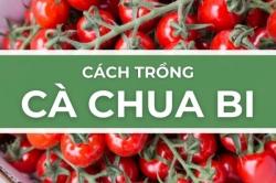 Cách trồng cà chua bi - Trồng và hái cà chua anh đào