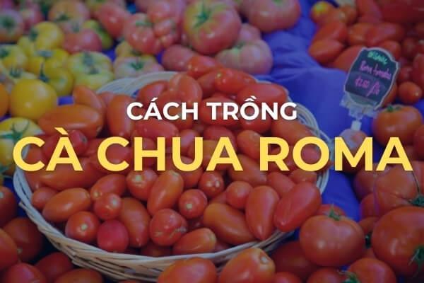 Cách trồng cà chua Roma - Kinh nghiệm làm vườn