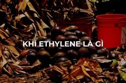Khí Ethylene là gì: Thông tin về khí Ethylene và quá trình chín của trái cây