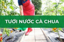 Thông tin về việc tước nước cho cây cà chua